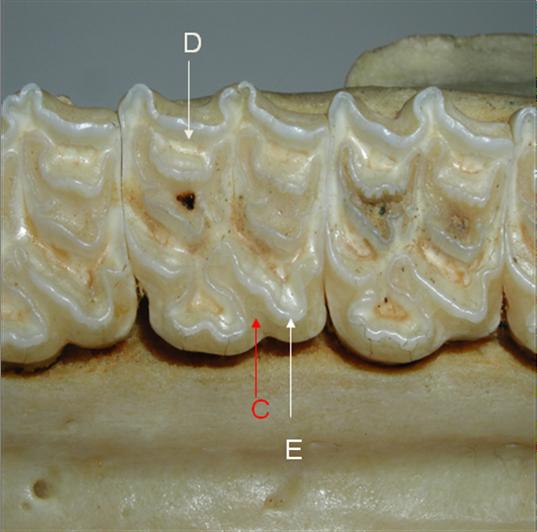 Molaire maxillaire, D=dentine, C=cément, E=émail