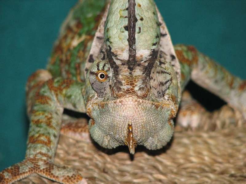 Les yeux indépendants du caméléon