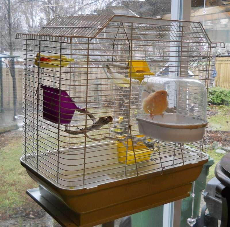 Canari en cage