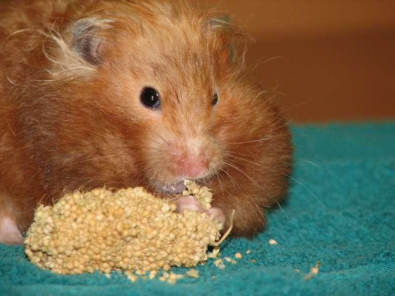 Hamster alimentation