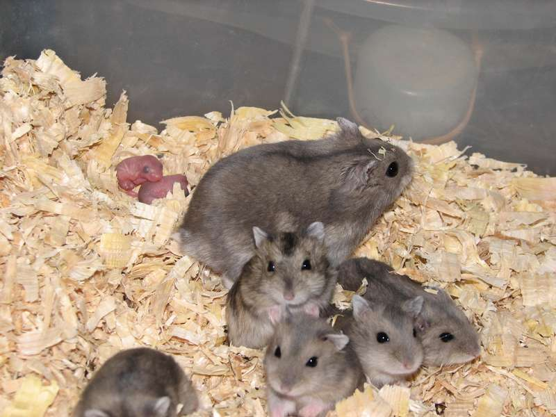 Hamsters Russes