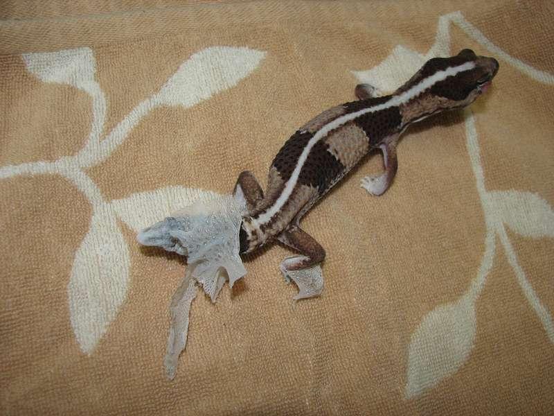 Mue du gecko