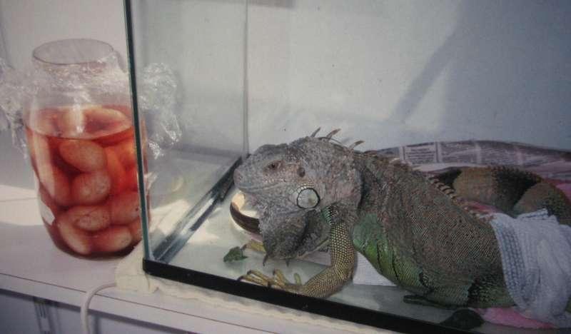 Iguane vert à la suite d'une chirurgie pour lui retirer ses oeufs