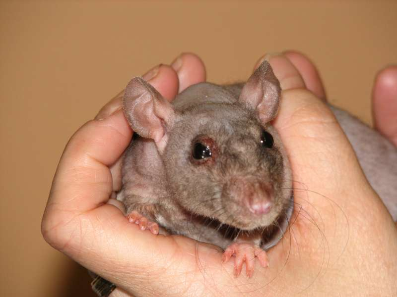 Rat avec infection pulmonaire